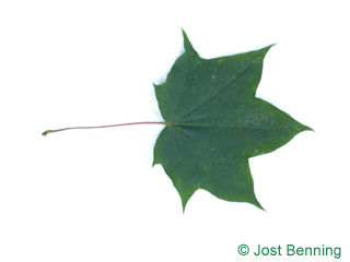 The lobée leaf of Cappadocian Maple