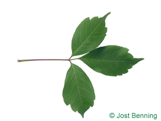 The composée leaf of Vine-leafed Maple