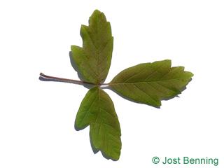 The composée leaf of érable à écorce de papier