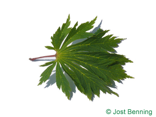 The lobée leaf of acer shirasawanum