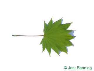 The lobée leaf of érable du japon