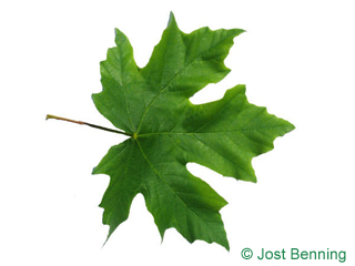 The lobée leaf of érable à grandes feuilles | érable de l'orégon