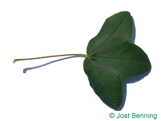 The lobée leaf of érable de montpellier