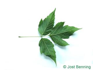 The composée leaf of érable à feuilles de frêne | érable négondo