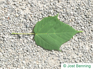The ovoïde leaf of Snake Bark Maple