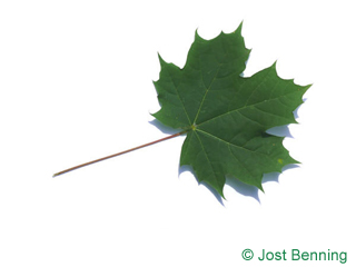 The lobée leaf of érable plane
