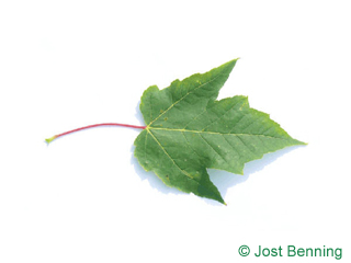The lobée leaf of érable rouge