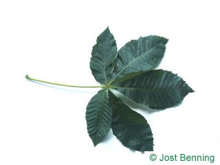 The composée leaf of marronnier à fleurs