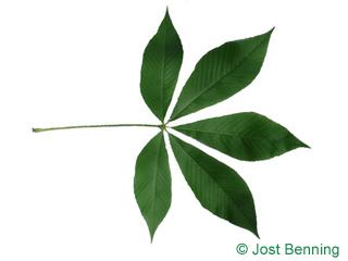 The composée leaf of pavier jaune | marronnier à fleurs jaunes