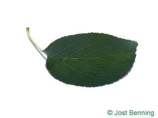 The ovoïde leaf of aulne de corse