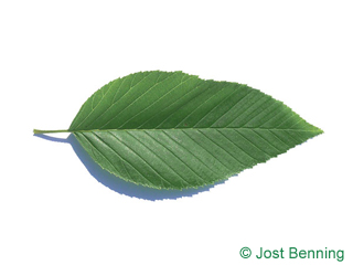 The ovoïde leaf of Alnus firma