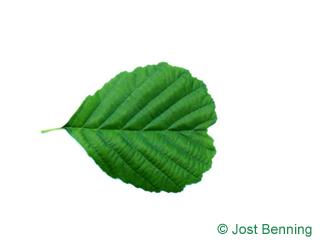 The arrondie leaf of aulne glutineux | aulne noir | aulne poisseux