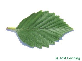 The ovoïde leaf of aulne blanc | aulne rugueux | aulne de montagne