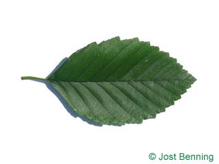 The ovoïde leaf of Red Alder
