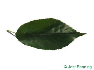 The ovoïde leaf of Spaeth's Alder