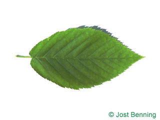 The ovoïde leaf of bouleau jaune