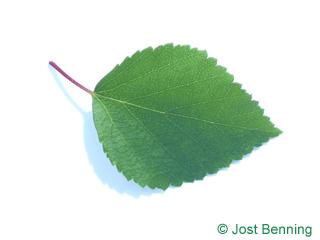 The ovoïde leaf of bouleau bleu | bouleau caerulea