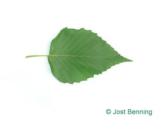The ovoïde leaf of bouleau d'or | bouleau ermanii