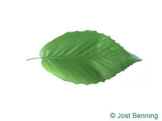 The ovoïde leaf of bouleau flexible | merisier rouge