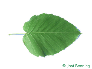 The ovoïde leaf of Maximowicz Birch