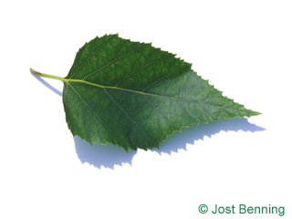 The ovoïde leaf of bouleau à papier