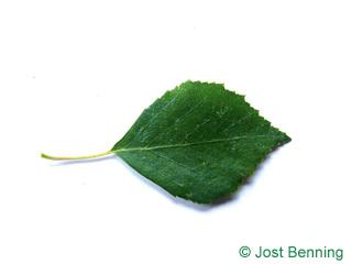 The ovoïde leaf of bouleau verruqueux