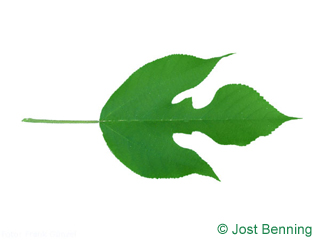 The lobée leaf of Paper Mulberry