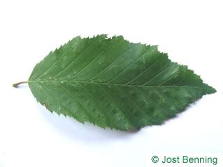 The ovoïde leaf of charme | charme commun