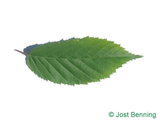 The ovoïde leaf of American Hornbeam