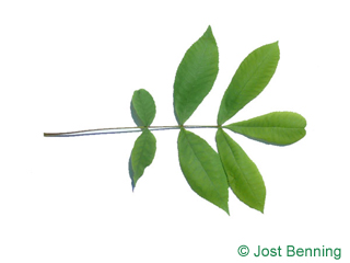 The composée leaf of Bitternut Hickory