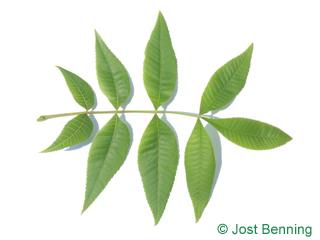 The composée leaf of caryer glabre