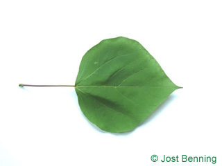 The cordiforme leaf of arbre aux haricots | catalpa boule ou catalpa commun