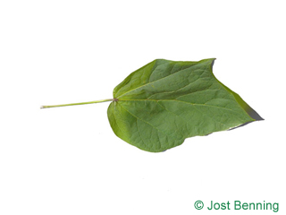 The lobée leaf of Red-Leaved Indian Bean Tree