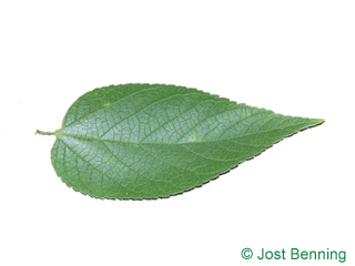 The ovoïde leaf of Common Hackberry
