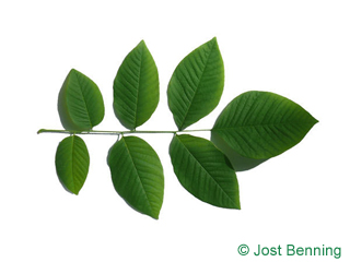 The composée leaf of bois jaune | cladrastis kentukea