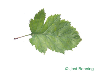 The ovoïde leaf of Canadian Hawthorn
