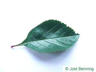 The ovoïde leaf of Cockspur Hawthorn