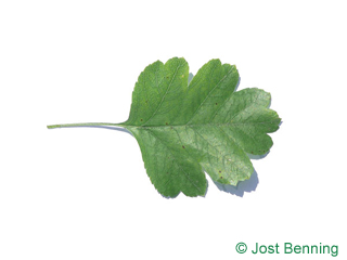 The ovoïde leaf of Redthorn
