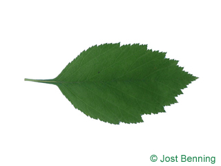 The ovoïde leaf of Downy Hawthorn