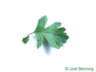 The ovoïde leaf of aubépine monogyne | aubépine à un style