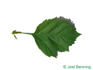 The ovoïde leaf of Redhaw Hawthorn
