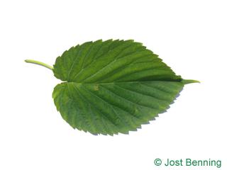 The ovoïde leaf of Handkerchief Tree