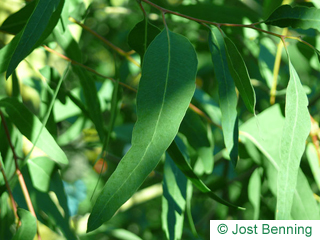 The lancéolée leaf of Red River Gum