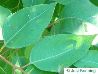 The ovoïde leaf of Grey Ironbark