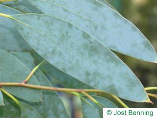 The lancéolée leaf of Snow Gum