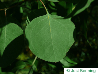 The arrondie leaf of Silver Dollar Gum