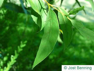 The lancéolée leaf of Broad-Leaved White Mahagoni