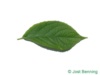 The ovoïde leaf of Hardy Rubber Tree