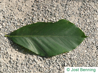 The ovoïde leaf of Japanese Beech