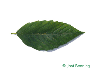 The lancéolée leaf of American Beech